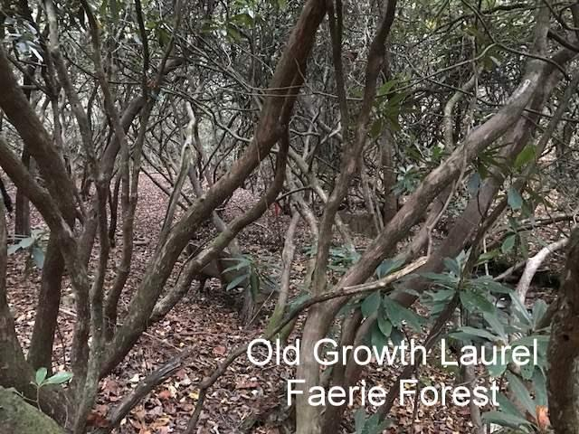 Old Growth Laurel Faerie Forest
