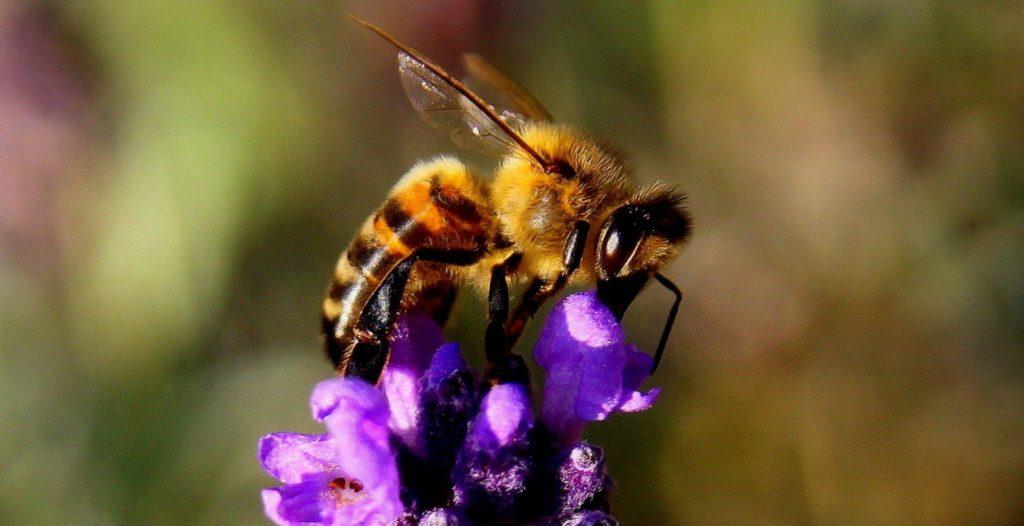 Honey bee on Lavendar