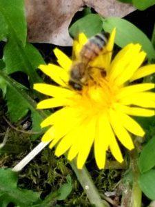 Bee on Dandelion at MVC